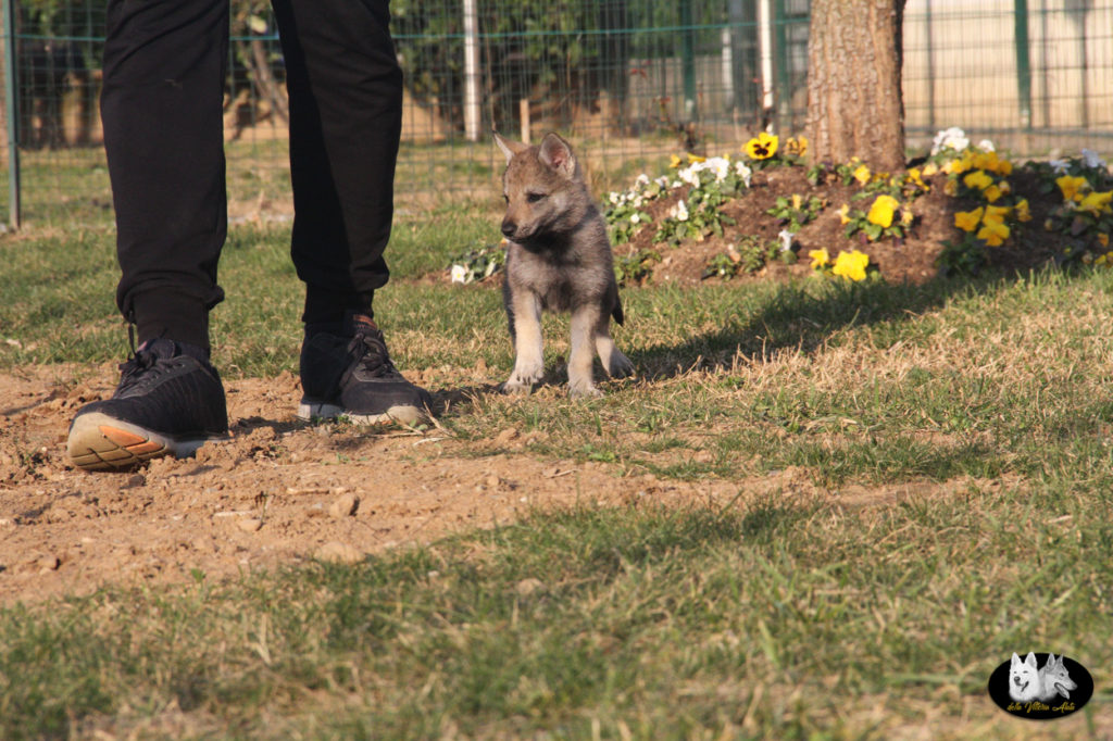 Cuccioli B cane lupo cecoslovacco della Vittoria Alata - Lara Croft Lupimax X Haron Lupi del Nord-76