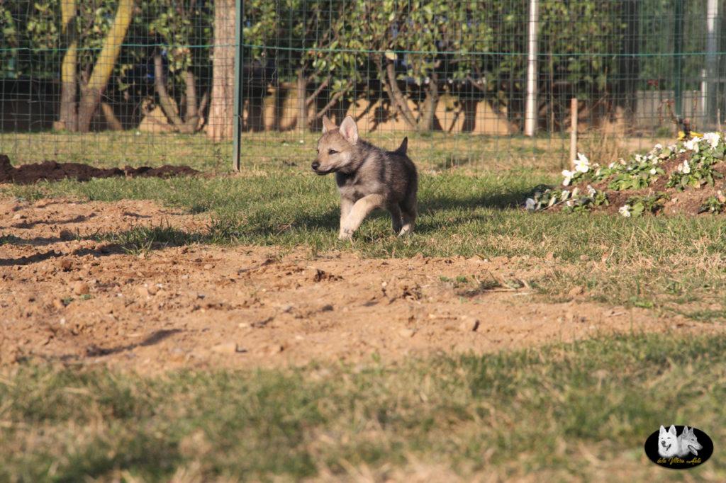 Cuccioli B cane lupo cecoslovacco della Vittoria Alata - Lara Croft Lupimax X Haron Lupi del Nord-77