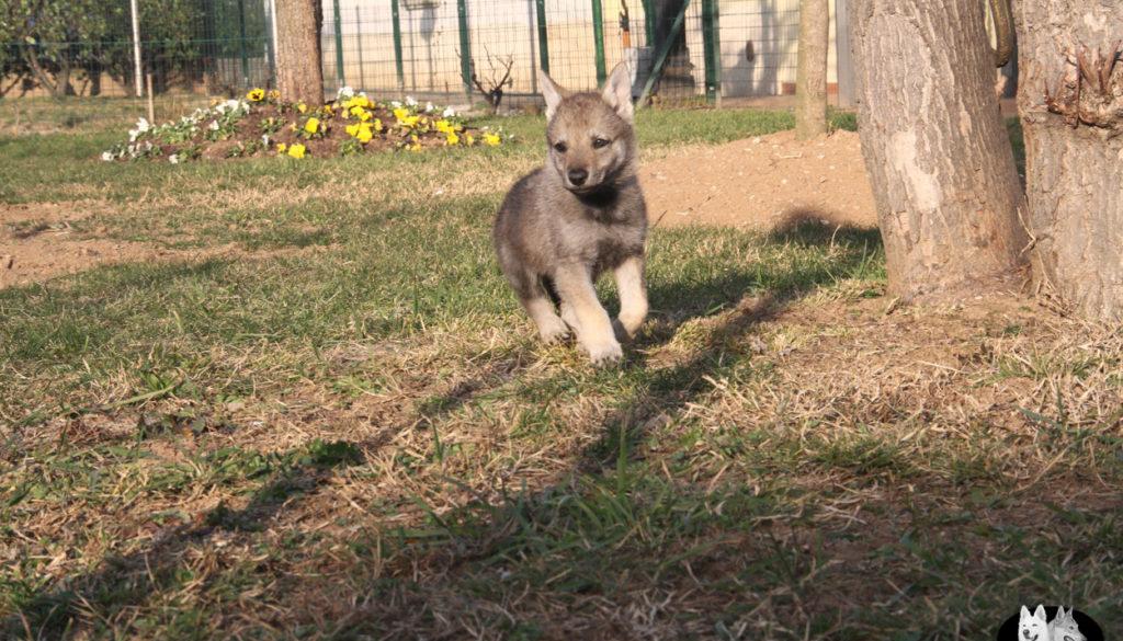 Cuccioli B cane lupo cecoslovacco della Vittoria Alata - Lara Croft Lupimax X Haron Lupi del Nord-78