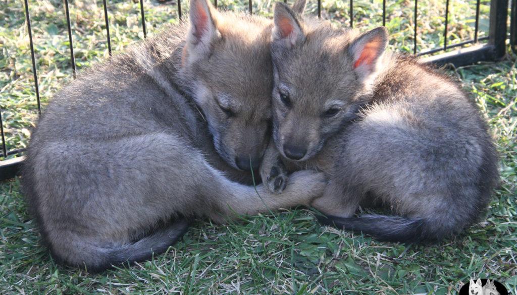 Cuccioli B cane lupo cecoslovacco della Vittoria Alata - Lara Croft Lupimax X Haron Lupi del Nord-79