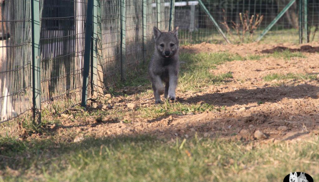 Cuccioli B cane lupo cecoslovacco della Vittoria Alata - Lara Croft Lupimax X Haron Lupi del Nord-80