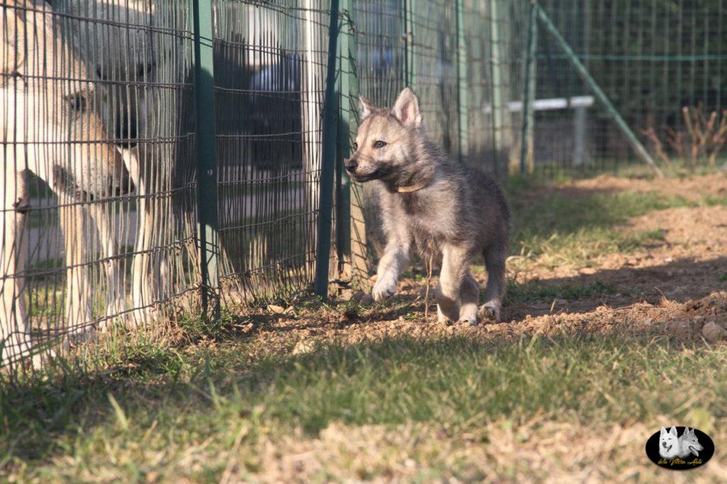 Cuccioli B cane lupo cecoslovacco della Vittoria Alata - Lara Croft Lupimax X Haron Lupi del Nord-81