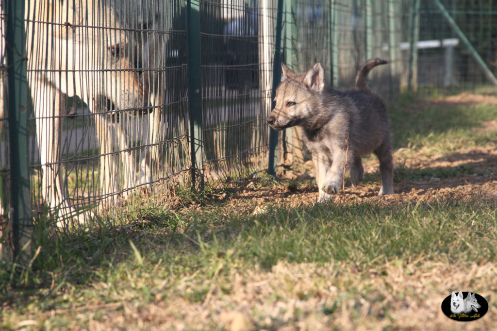Cuccioli B cane lupo cecoslovacco della Vittoria Alata - Lara Croft Lupimax X Haron Lupi del Nord-82