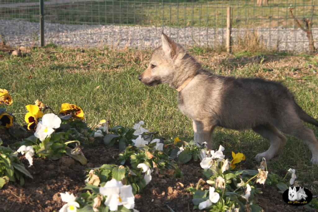 Cuccioli B cane lupo cecoslovacco della Vittoria Alata - Lara Croft Lupimax X Haron Lupi del Nord-84