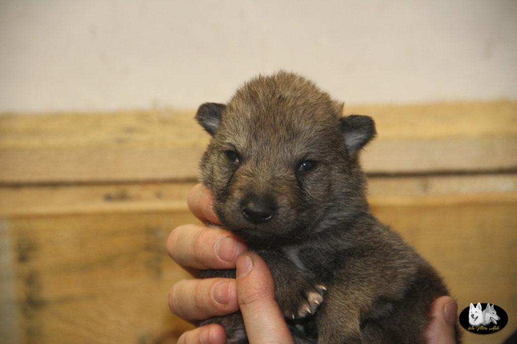 Cuccioli B cane lupo cecoslovacco della Vittoria Alata - Lara Croft Lupimax X Haron Lupi del Nord-9
