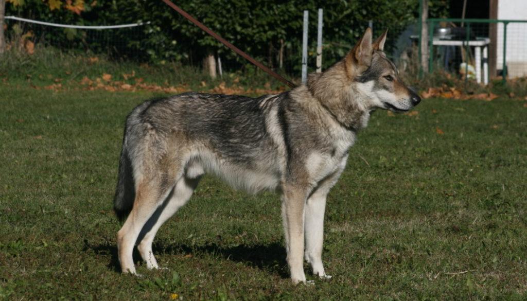 cane-lupo-cecoslovacco-aki-vittoria-alata-brescia-lombardia