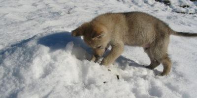 cane-lupo-cecoslovacco-cucciolo-viktor-boghi-vittoria-alata-brescia-lombardia